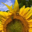 Summer sunflower — Stock Photo
