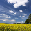 Rape field and white clouds — Stock Photo #8959202