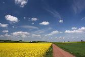Blue sky and canola fields. — Stock Photo