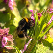 Bumblebee — Stock Photo #10032053