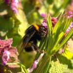 Bumblebee — Stock Photo #10032053