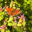 Butterfly at sun — Stock Photo