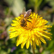 Bee on flower — Stock Photo #10032236