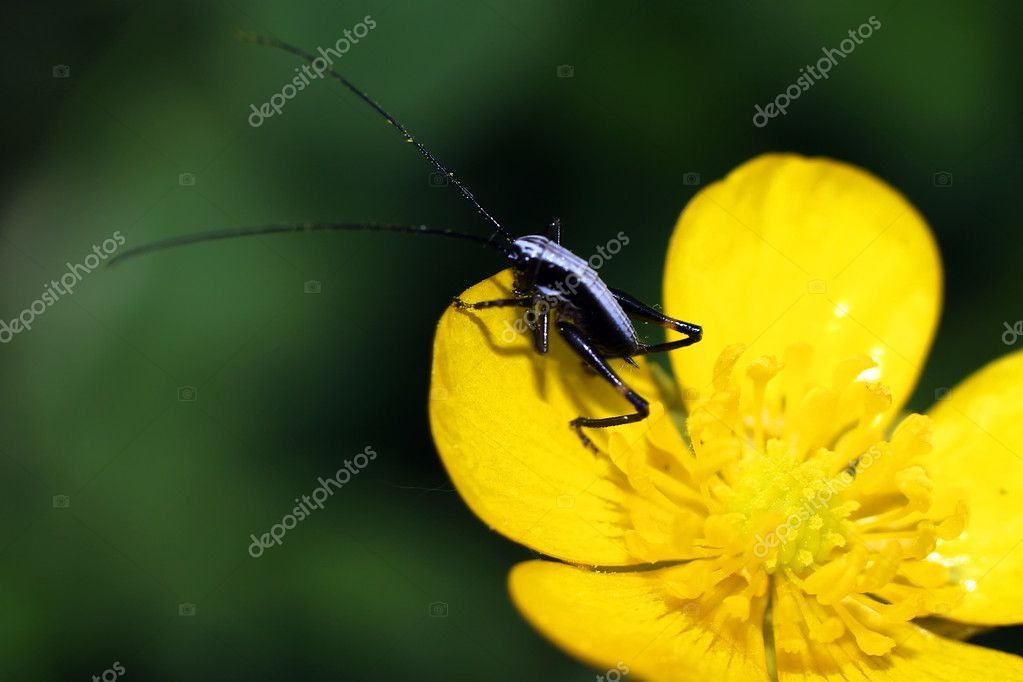 Black bug at yellow flower — Stock Photo #10695362