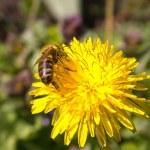 Bee on flower in the sun — Stock Photo #9991929