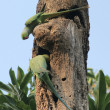 Stock Photo: Rose-ringed Parakeets