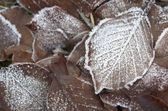 Frosted autumn foliage — Stock Photo