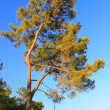 Pine and the sea — Stock Photo #9595475