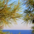 Pine and the sea — Stock Photo