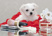 Maltese puppy — Stock Photo