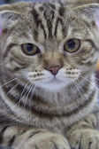 Scottish Fold — Stock Photo