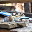 Chipmunk eats cedar seed — Stock Photo