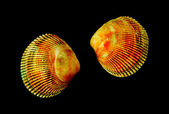 Sea seashell on black — Stock Photo