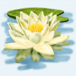 White lily floating on a blue water — Stock Photo