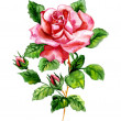 rose watercolor — Stock Photo