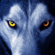 Wolf eyes - Stock Photo