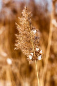 Dried reed in the winter — Stock Photo