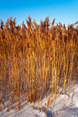 Reeds in the sky — Stock Photo