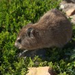 Stock Photo: Rock dassie