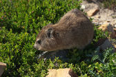 Rock dassie — Stock Photo