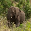 African elephant among the trees — Foto Stock