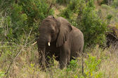 African elephant among the trees — Stock Photo