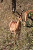Antelope Impala — Stock Photo