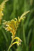 Yellow Cobra Lily — Stock Photo