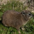 Rock dassie is eating — Stock Photo
