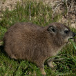 Stock Photo: Rock dassie is eating