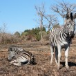 Stock Photo: Resting zebras