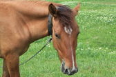 лошадь пасется на лугу — Стоковое фото