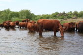 Cows drink water and bathe in the river — Stock Photo