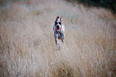 A running hunting dog — Stock Photo