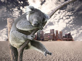 Koala in town — Stock Photo