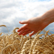 Stock Photo: Hand in wheat field