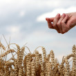 Hand in wheat field — Stockfoto
