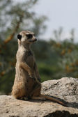 Suricate or meerkat (Suricata suricatta) standing on guard, South Africa — Stock Photo