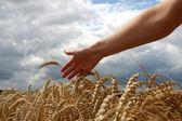 Hand in wheat field — Stock Photo