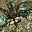 Stock Photo: Wolf spider eating moth