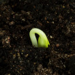 Stock Photo: Seedling