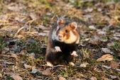 European hamster — Stock Photo