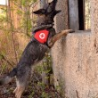 Search and Rescue dog - Zdjęcie stockowe