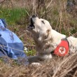 Search and Rescue dog - Stok fotoraf