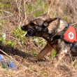 Search and Rescue dog - Stok fotoğraf