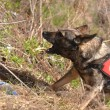 Search and Rescue dog - Photo