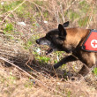 Search and Rescue dog - Foto Stock