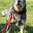 Stock Photo: Australian cattle dog