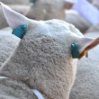 Sheep animal — Stock Photo
