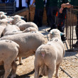 Unidentified farmers participates on the Farm Show rams - Stock Photo